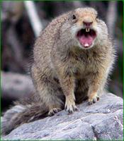 squirrelrabies